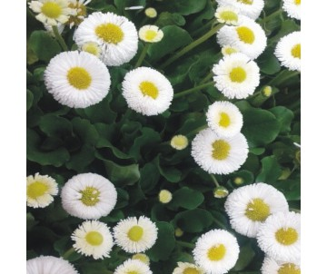 BELLIS BLANCO