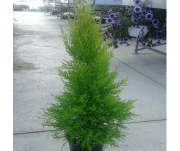 CUPRESSUS GOLDENCREST WILMA